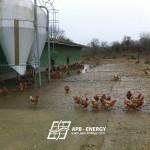élevage de poules site isolé