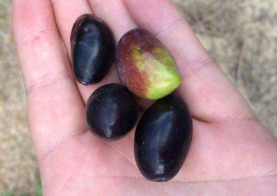 olives-provence