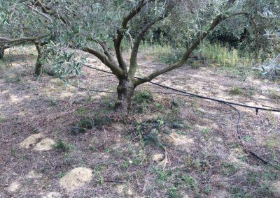 olivier-irrigation